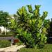Árbol Lira - Photo (c) Flores y Plantas, algunos derechos reservados (CC BY-NC-SA)