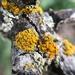 Polycauliona polycarpa - Photo (c) Nova Patch (they/them), algunos derechos reservados (CC BY-SA)