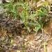 Benthamia - Photo (c) rivontsoa_andry, some rights reserved (CC BY-NC), uploaded by RAKOTONASOLO Rivontsoa Andrimalala