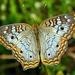 Anartia jatrophae - Photo (c) Bob Peterson,  זכויות יוצרים חלקיות (CC BY-SA)