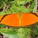Mariposa Julia - Photo (c) Cláudio Dias Timm, algunos derechos reservados (CC BY-NC-SA)