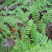 Florida Tree Fern - Photo (c) 115800471438829027783, some rights reserved (CC BY-NC), uploaded by Javier Alejandro