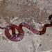 Culebra de Ciempiés Anillada - Photo (c) Vilmer Herrera, algunos derechos reservados (CC BY-NC)