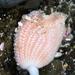 Sycozoa sigillinoides - Photo (c) tangatawhenua, μερικά δικαιώματα διατηρούνται (CC BY-NC)