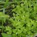 Lindernia dubia dubia - Photo (c) Joseph Kurtz, μερικά δικαιώματα διατηρούνται (CC BY-NC)