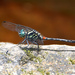 Diplacina bolivari - Photo (c) Chris Chafer, algunos derechos reservados (CC BY-NC)