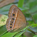 Orange Bushbrown - Photo (c) Jerry Oldenettel, some rights reserved (CC BY-NC-SA)
