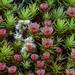 Polytrichum piliferum - Photo (c) Richard Droker,  זכויות יוצרים חלקיות (CC BY-NC-ND)