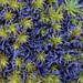 Scytinium palmatum - Photo (c) Richard Droker, algunos derechos reservados (CC BY-NC-ND)