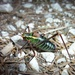 Eastern Saw-tailed Bush-Cricket - Photo (c) Jakob Fahr, some rights reserved (CC BY-NC)