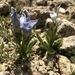 Perennial Fringed Gentian - Photo (c) Joan, some rights reserved (CC BY-NC)