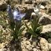 Gentianopsis barbellata - Photo (c) Joan,  זכויות יוצרים חלקיות (CC BY-NC)