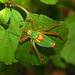 Southern Saw-tailed Bush-Cricket - Photo (c) Hectonichus, some rights reserved (CC BY-SA)