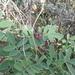 Tephrosia apollinea - Photo (c) Jacky Judas, some rights reserved (CC BY)