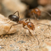 Bicolored Pyramid Ant - Photo no rights reserved