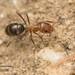 Pyramid Ants - Photo no rights reserved