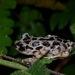 Kassina arboricola - Photo (c) John Sullivan, algunos derechos reservados (CC BY-NC)