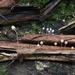 Mycena pterigena - Photo (c) Nina Filippova, algunos derechos reservados (CC BY)