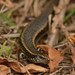 Northern Spotted Skink - Photo (c) Christopher Stephens, some rights reserved (CC BY-SA)