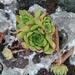 Sempervivum ruthenicum - Photo (c) nikita_2002, osa oikeuksista pidätetään (CC BY-NC)