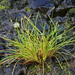 Isolepis - Photo (c) tangatawhenua, some rights reserved (CC BY-NC)