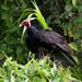 Gallinazo Cabeza Roja Tropocal - Photo (c) Cullen Hanks, algunos derechos reservados (CC BY-NC)