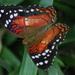 Mariposas Pavo Real - Photo (c) Mark Stevens, algunos derechos reservados (CC BY-NC-SA)