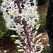 Drimia numidica - Photo (c) Francesca Graziani, algunos derechos reservados (CC BY-NC)