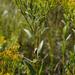 Solidago ohioensis - Photo (c) aarongunnar, algunos derechos reservados (CC BY)
