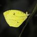 Mariposa Amarilla Tropical - Photo (c) Roger Rittmaster, algunos derechos reservados (CC BY-NC)