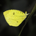 Xantochlora Grass Yellow - Photo (c) Roger Rittmaster, some rights reserved (CC BY-NC)