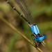 Ζυγόπτερα - Photo (c) Michael  Bok, μερικά δικαιώματα διατηρούνται (CC BY-NC-SA)