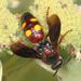 Scolia nobilitata - Photo (c) Judy Gallagher,  זכויות יוצרים חלקיות (CC BY), uploaded by Judy Gallagher