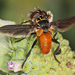 Swift Feather-legged Fly - Photo (c) Judy Gallagher, some rights reserved (CC BY), uploaded by Judy Gallagher