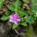 Geranium nepalense thunbergii - Photo (c) Cheng-Tao Lin, osa oikeuksista pidätetään (CC BY)