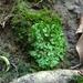 Riccia glauca - Photo (c) 楊玉鳳, algunos derechos reservados (CC BY-NC)