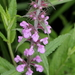 Marsh Woundwort - Photo (c) Pete Woodall, some rights reserved (CC BY-NC)