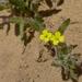 Camissoniopsis hirtella - Photo (c) randomtruth, algunos derechos reservados (CC BY-NC-SA)
