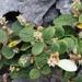 Salix vestita - Photo (c) Ian Bryson, algunos derechos reservados (CC BY-NC)