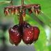 Marcgraviaceae - Photo (c) jcorrie,  זכויות יוצרים חלקיות (CC BY-NC)