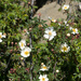 Rosa transmorrisonensis - Photo (c) Cheng-Tao Lin, algunos derechos reservados (CC BY)
