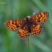 Melitaea celadussa - Photo (c) Marcello Consolo,  זכויות יוצרים חלקיות (CC BY-NC-SA)