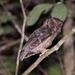 Amazonianpöllönen - Photo (c) Allan Hopkins, osa oikeuksista pidätetään (CC BY-NC-ND)
