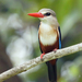 Gray-headed Kingfisher - Photo (c) David Cook Wildlife Photography, some rights reserved (CC BY-NC)