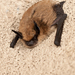 Miotis Californiano - Photo (c) Frank Carey, algunos derechos reservados (CC BY-NC-SA)