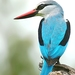 Woodland Kingfisher - Photo (c) Arno Meintjes, some rights reserved (CC BY-NC)