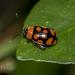 Alagoasa bipunctata perennis - Photo (c) Felix Fleck,  זכויות יוצרים חלקיות (CC BY-NC)