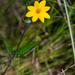 Wedelia acapulcensis - Photo (c) B Mlry, algunos derechos reservados (CC BY-NC)