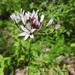 Allium glandulosum - Photo (c) Alan Camacho Morales, alguns direitos reservados (CC BY-NC)