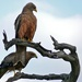 Egyptian Yellow-billed Kite - Photo (c) Bernard DUPONT, some rights reserved (CC BY-NC-SA)